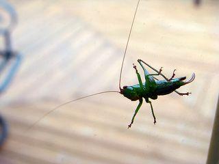 Grasshopperonbackdoor